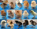 Chicks of many breeds.tif