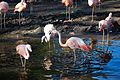 Chilean flamingo 0167.JPG