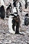 Chinstrap Penguins Half Moon Island Antarctica 3 (46613410134).jpg