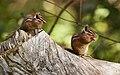 Chipmunks at Samuel P. Taylor State Park , 2017 (Explored) - Flickr - wikiphotographer.jpg