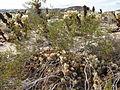 Cholla Cactus Garden; teddybear cholla (Cylindropuntia bigelovii) - 2.jpg