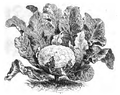 Chou-fleur Lenormand Vilmorin-Andrieux 1883.png