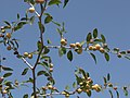 Christ's thorn jujube tree.jpg