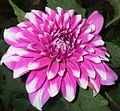 Chrysanthemum-purple-2.jpg