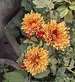 Chrysanthemum 02.jpg