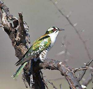Diederik cuckoo - Image: Chrysococcyx caprius, a, Johann Grobbelaar