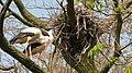 Cigogne storke storch - panoramio.jpg