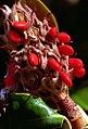 "Cincinnati - Spring Grove Cemetery & Arboretum ""Southern Magnolia Seed Pods"" (5040358960).jpg"