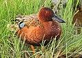Cinnamon Teal on Seedskadee National Wildlife Refuge (27101372196).jpg