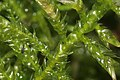 Cirriphyllum piliferum (c, 144550-480625) 4471.JPG