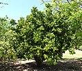 Clausena lansium - Fruit and Spice Park - Homestead, Florida - DSC08993.jpg