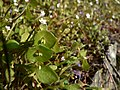 Claytonia perfoliata 38531.JPG