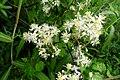 Clematis brevicaudata (Ranunculaceae) (34988596393).jpg