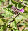 Clinopodium vulgare in Chablais (5).jpg