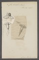 Clio borealis - - Print - Iconographia Zoologica - Special Collections University of Amsterdam - UBAINV0274 080 11 0003.tif