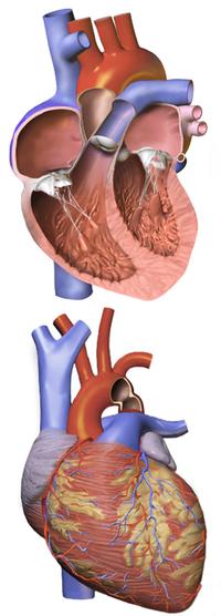 coarctation of the aorta wikipedia