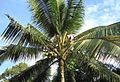 Coconut trees (1).JPG