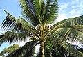 Coconut trees (1).JPG