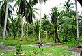 Coconut trees (12).JPG