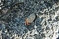 Coenobita clypeatus terrestrial hermit crab in Cerion watlingense snail shell (San Salvador Island, Bahamas) 1 (15408880624).jpg
