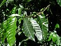 Coffea arabica.jpg