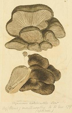 Coloured Figures of English Fungi or Mushrooms - t. 99.jpg