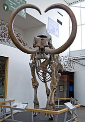 Skeleton of a mammoth with long, curved tusks