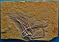 Comaturella pinnata - Solnhofen, Burgmeister Muller Museum.jpg