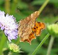 Comma butterfly 02.jpg