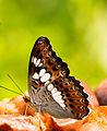 Commander Butterfly.jpg