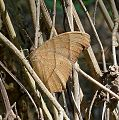 Common Evening Brown. Melanitis leda. Nymphalidae. DSF - Flickr - gailhampshire.jpg