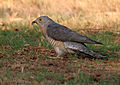 Common Hawk Cuckoo (Cuculus varius)- catching a catterpillar W IMG 7370.jpg