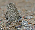 Common Lineblue (Prosotas nora) in Hyderabad, AP W IMG 0242.jpg