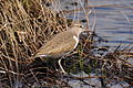 Common Sandpiper 100531.JPG