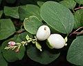 Common Snowberry (Symphoricarpos albus) - Oslo, Norway 2020-08-15 (01).jpg