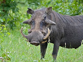 Common Warthog (Phacochoerus africanus) big male (11839008673).jpg