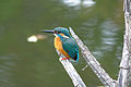 Common kingfisher (16065953087).jpg