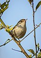 Common tailorbird दमाई चरा, पातसिउने फिष्टो.jpg
