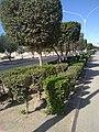 Conocarpus in kuwait by irvin calicut (7).jpg