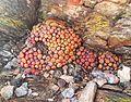 Conophytum ficiforme in Robertson Karoo habitat - dried in dormancy 2.jpg