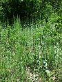 Conringia austriaca sl15.jpg