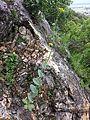 Conringia austriaca sl41.jpg