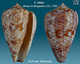 Conus - Apertural and abapertural views of shell of Conus abbas