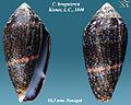 Conus bruguieresi 2.jpg