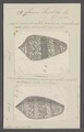 Conus textile - - Print - Iconographia Zoologica - Special Collections University of Amsterdam - UBAINV0274 085 10 0108.tif