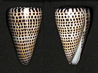 Conusliteratus