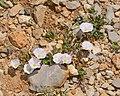 Convolvulus libanoticus 1.jpg