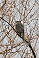 Cooper's Hawk (Accipiter cooperii) - Kitchener, Ontario 01.jpg