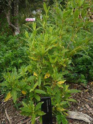 Coprosma acutifolia - Image: Coprosma acutifolia 11