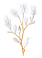 Cordylophora caspia, portion of a female colony (from Allman, 1872).png